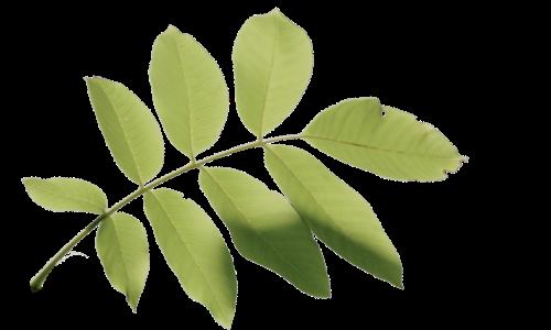 walnut tree leaf